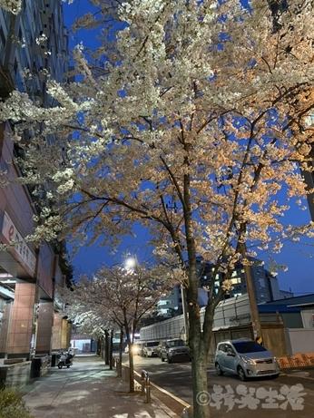 韓国 ソウル 花見 桜並木