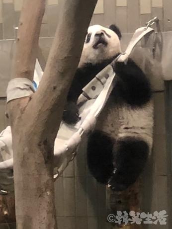 上野動物園 パンダ 可愛い シャンシャン